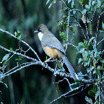 Garrulax albogularis (White-throated Laughingthrush)