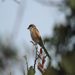 Lanius schach (Long-tailed Shrike)