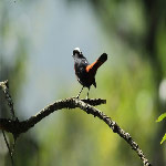 Chaimarrornis leucocephalus (White Capped Water Redstart)