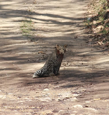 Leopard at Rajaji National Park